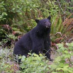 Black Bears on Northern Vancouver Island