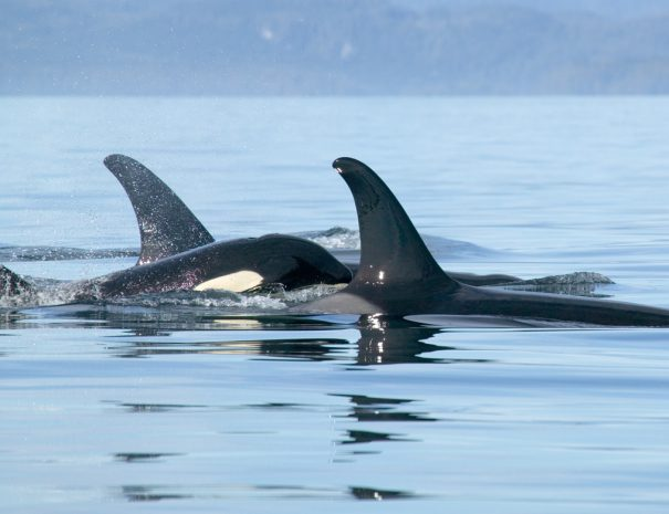 Killer Whale - Orcinus Orca - Port McNeill, BC, Canada